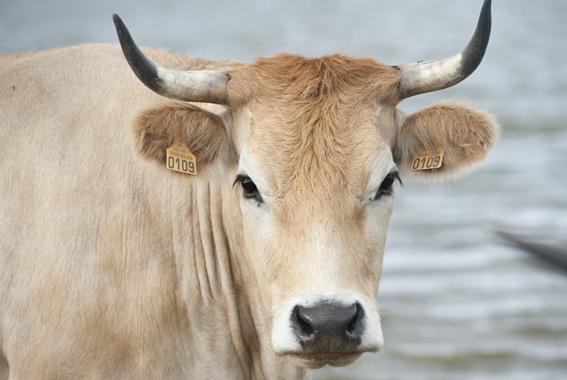 Vache Nantaise race bretonne Breizh Europa